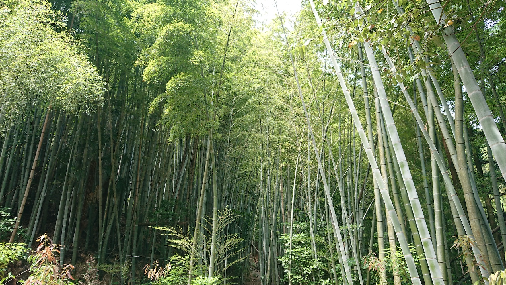 Beppu Hot Springs Bamboo Forest